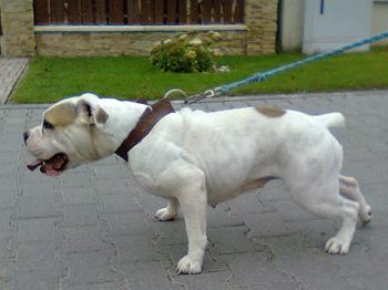 Bulldog som drar i båndet