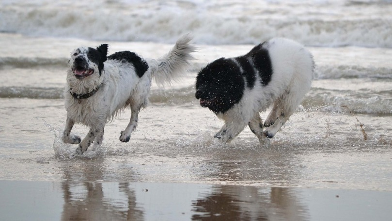 Sea Play Newfie Newfoundland Dogs Dog Beach