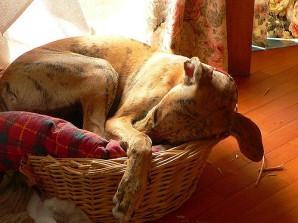 sovende hund