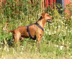 stor-hund-med-sele