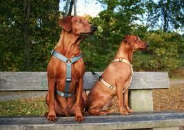 to-hunder-med-sele-sittende