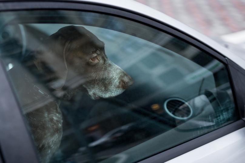 shutterstock_hund i varm bil